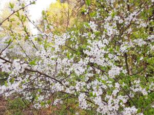 Kwiaty tarniny
