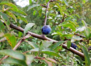 Tarnina jeszcze na krzaku - zbliżenie na jeden owoc